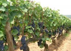 Виноград сильно гонит лозу
