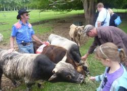 Карликовая корова - просто сокровище!