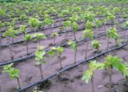 Правила посадки виноградного саженца