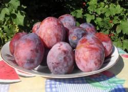 Вкуснейшие сорта сливы для вашего сада