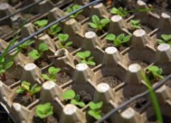 Выращиваем редис в яичных кассетах