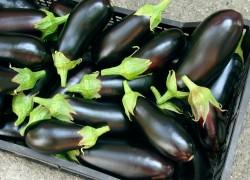 5 советов для рекордного урожая баклажанов