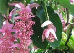 Как добиться цветения от мединиллы