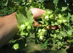 Лесной орех на садовом участке