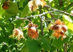 Орех не дает урожая
