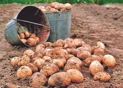 Лечение для картофеля