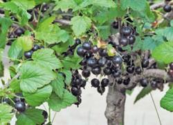 Формирование черной смородины деревом