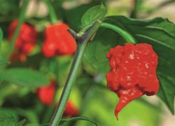 Самый злой перец в мире — перец хабанеро
