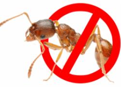 Как быстро избавиться от муравьев