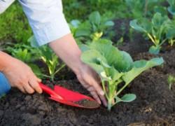 Защитим капусту