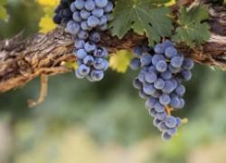 Помогаем винограду окраситься