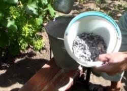 Как использовать виноградную золу?