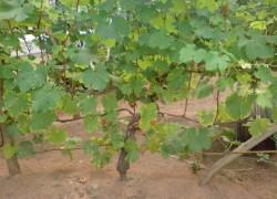 Почему сломался куст винограда