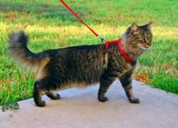 Кошка и шлейка. Как правильно выбрать и приучить!