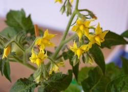 Надо ли обрывать цветки у картофеля и помидоров?