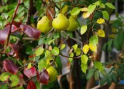 Почему сохнут листья на груше?