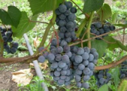 Что делать с доставшимся виноградом
