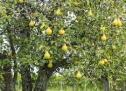 Как выбрать сорт груши и вырастить грушевый сад