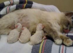 Блохи съедают новорожденных котят!