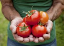 Спасение для помидоров