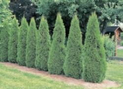 6 секретов успешного выращивания туи