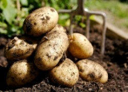 Чтобы картофель поторопить