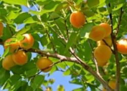 Как добиться плодов от абрикоса?