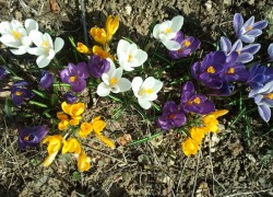 Крокус − цветок богини утренней зари