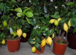 Гибнут мои комнатные лимоны!