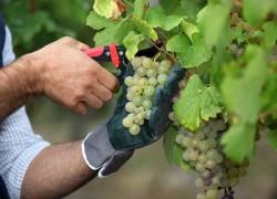 Какой виноград пригоден на хранение?