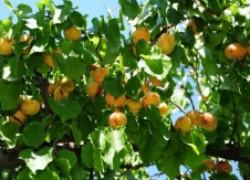 Чем отличается абрикос от жерделы