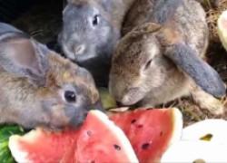 Давать ли кроликам арбузные корки?