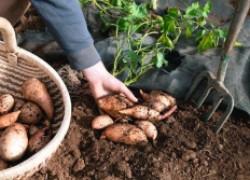 Сладкий батат: как выращивать, когда копать?