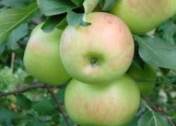 Яблоня богатырь. Особенности выращивания и причины популярности