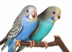 Какую подругу подобрать говорящему попугаю