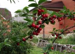 Как создать идеальные условия для вишни