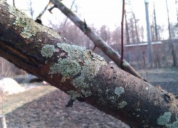 Лишайник на деревьях: стоит ли беспокоиться?