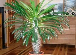 Пахиподиум, пальма с Мадагаскара
