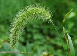 А вы знали, что пырей − целебный сорняк?
