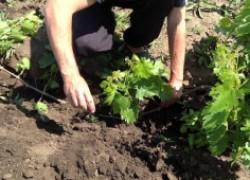 Посадка винограда по правилам