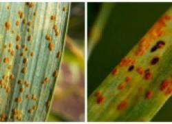 Заржавели лилии