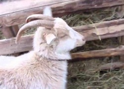 Помогаем козам перезимовать