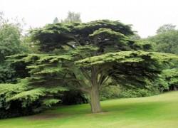 Кедр атласский с неблагозвучным названием Глаука Пендула стал фаворитом у ландшафтных дизайнеров