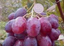 Лучше уход – выше урожай: опыт виноградаря
