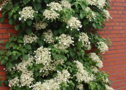 Черешковая гортензия – праздник цветов в вашем саду