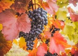 Надо ли обрывать у винограда листья