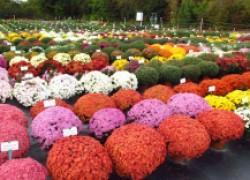 Кустовые хризантемы называются мультифлора
