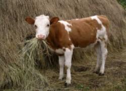 Причины кашля у теленка