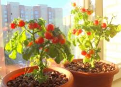 Все о выращивании помидоров на подоконнике