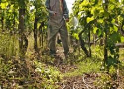 Новые препараты на защите виноградника